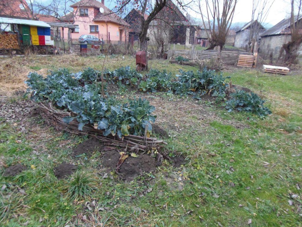 bioparenisko - brokolica -jesen.JPG -