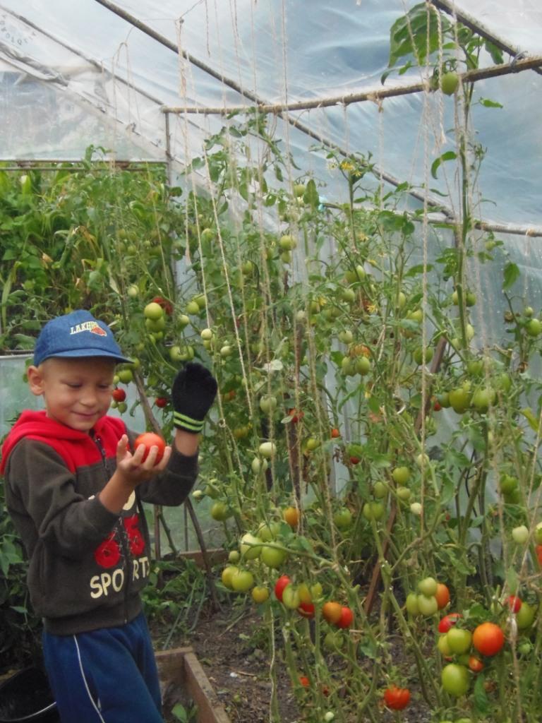 foliovnik - paradajky2.JPG -